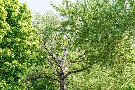 Álamo blanco contra el cielo azul perfecto en un día soleado de primavera. Árbol alto con álamo temblón de corteza blanca Foto de archivo