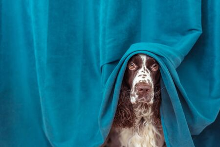 The dog is hiding behind the curtains from the owner, because it ruined his household things. A pet dressed up in a curtain, a funny dog made a show for the family.