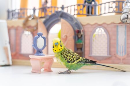 Funny budgerigar. Cute green budgie a parrot sits on window sill near a toy castle and plays with a small plastic mirror. Pet bird and its toys Reklamní fotografie