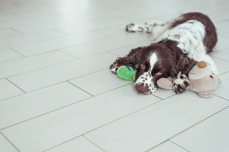 English Springer Spaniel breed dog is lying down on the floor next with your favorite soft toy. Pets dog is sleeping in an embrace with a Teddy bear Stock Photo