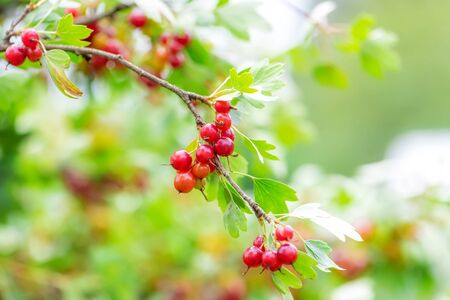 The jostaberry - lat. Ribes x nidigrolaria is a cross fruit bush involving the black currant, the North American black gooseberry and the European gooseberry.