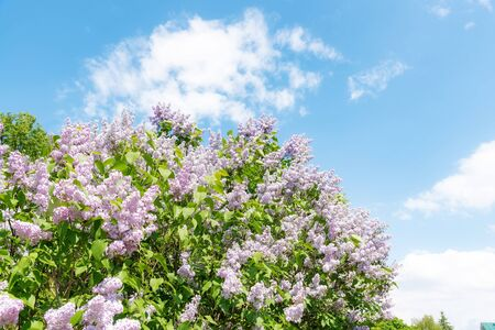 Blooming lilac bush with many flowers against clear blue sky