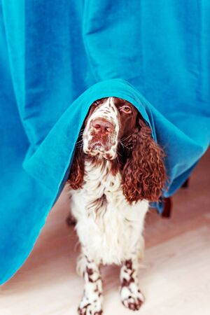 The dog is hiding behind the curtains and is afraid to go out.  The concept of dogs anxiety about thunderstorm, fireworks and noises. Pets mental health, excessive emotionality, feelings of insecurity. Stock fotó