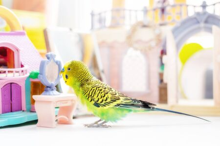 Funny budgerigar. Cute green budgie a parrot sits on window sill near a toy castle and plays with a small plastic mirror. Pet bird and its toys 免版税图像