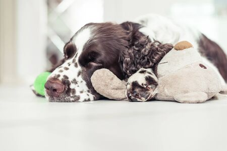 English Springer Spaniel breed dog is lying down on the floor next with your favorite soft toy. Pets dog is sleeping in an embrace with a Teddy bear 免版税图像