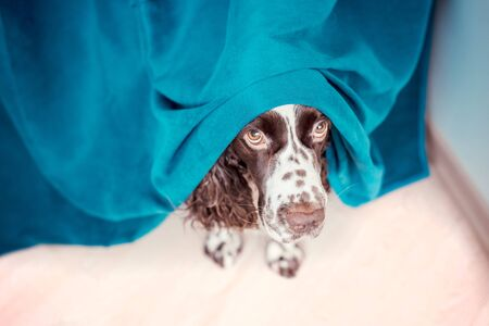 The dog is hiding behind the curtains and is afraid to go out. The concept of dogs anxiety about thunderstorm, fireworks and noises. Pets mental health, excessive emotionality, feelings of insecurity. Banque d'images