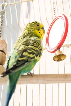 Funny budgerigar. Cute green budgie pa parrot sits in a cage and plays with a mirror. Funny tamed pet bird and her toys