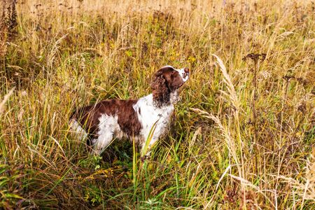 Brown and White English Springer Spaniel Dog on autumn field. The pet has wet hair after an active walk on a sunny autumn day Banque d'images