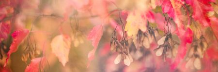 Defocused fall banner. Orange light and red beautiful autumn leaves in beautiful fall park. Golden sunset and bokeh background