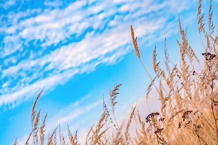 Dry grass in field on blue sky background.