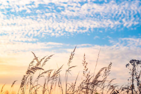 Tall grass and weeds overgrown in a field and a bright blue sky with white clouds. Wild of grass on sunset, soft sun rays, shallow DOF. Silhouette of tallgrass bathed in sunset light