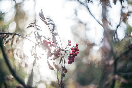Rowan, red ripe rowan berry on branch inthe forest, nature bokeh. background