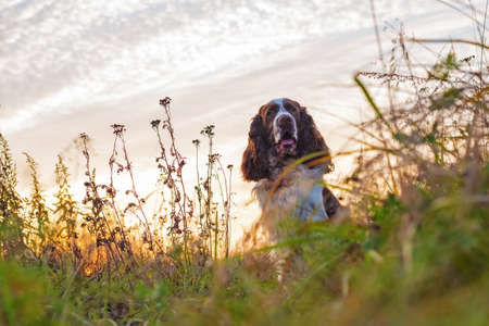 The gun dog sits in the wild grass autumn field. Young hunting dog in the autumn forest. English springer spaniel breeds