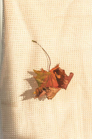 Retro autumn season composition of red maple leaf on mesh tablecloth, napkin or curtain. Fall seasonal foliage colored in red, herbarium and botanic, decorative vibrant leafage. October or november Stockfoto