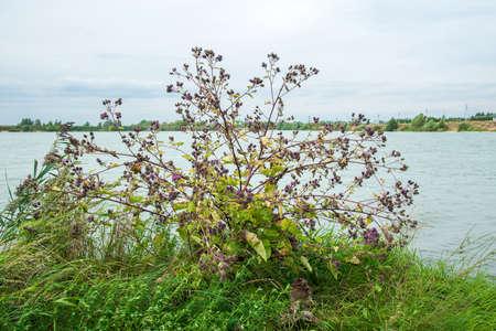 Burdock flowers growing by lake or river landscape Standard-Bild