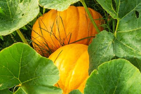 Pumpkins and leaves closeup, autumn gourd plant