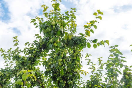Apple tree branches with plenty of ripe fruits