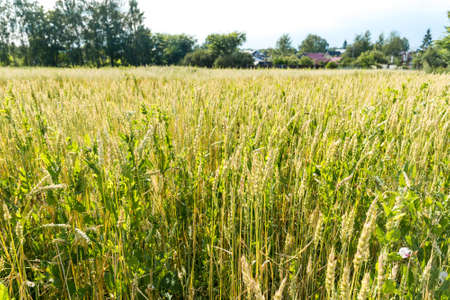 Field of green growing wheat spikelets agriculture Standard-Bild