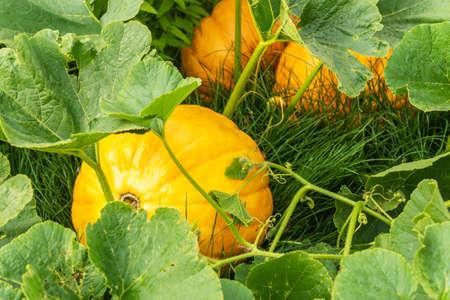 Ripe pumpkins grow on green bush in kitchen garden in autumn