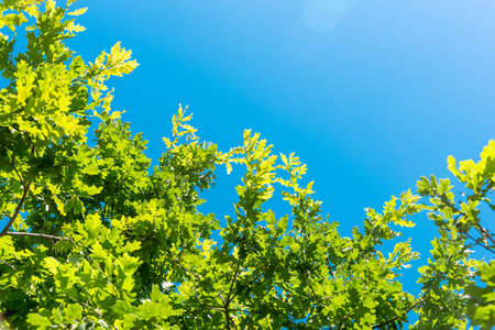 Branches of oak tree with green foliage against blue sky