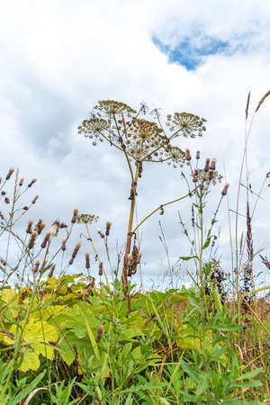 Heracleum. Field with weed and flowers, plantation over sky