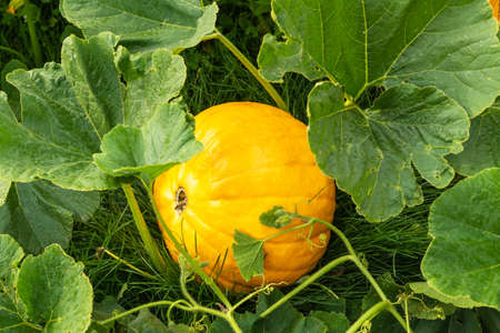Ripe pumpkins grow on green bush in kitchen garden in autumn