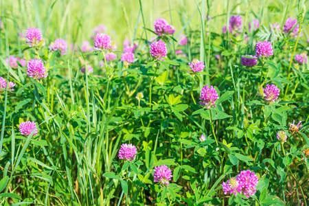 Clover with pink flowers and lush grass grow on wild meadow