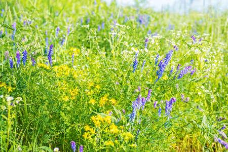 Aromatic wildflowers and green grass grow on fresh meadow Фото со стока