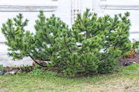 Large pine tree bush grows near old building on spring day