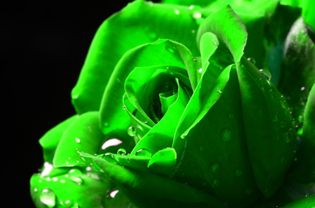 Green macro rose with dew on black background.