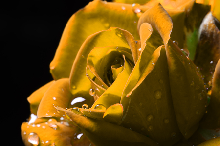 Yellow macro rose with dew on black background.