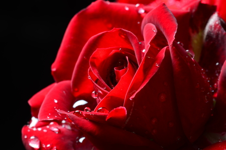 Red macro rose with dew on black background.