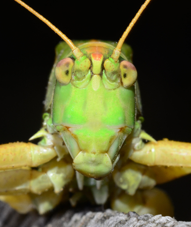 Macro portrait grasshopper on a black background.