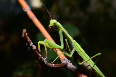 Macro portrait Mantis religiosa. Stock Photo