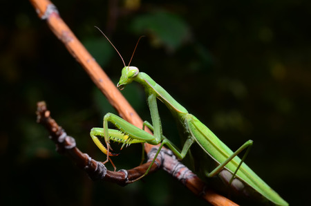 Macro portrait Mantis religiosa. Stock Photo