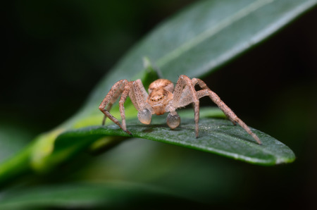 the lynx: Spider on a green leaf is looking for a victim