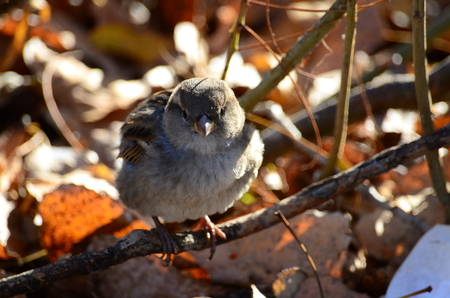 Sparrow warms in the sun