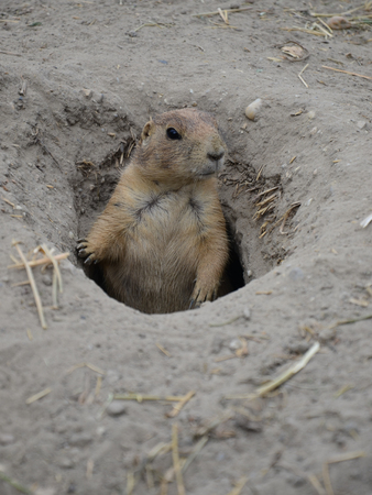 sitting on the ground: Prairie dog in the hole. Marmots.