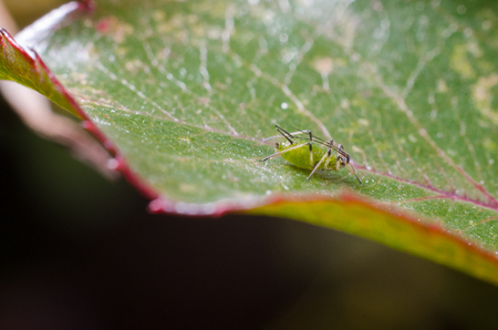 Aphids on a plant Stock Photo