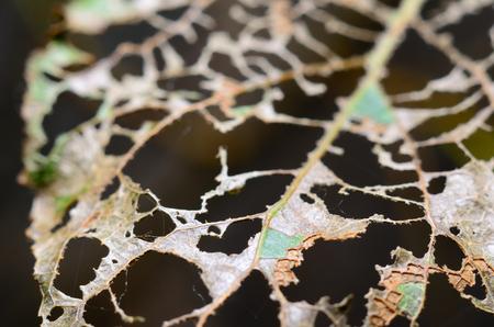 Skeleton leaf after caterpillar Stock Photo