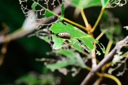 pieris: Caterpillar eating leaf Stock Photo