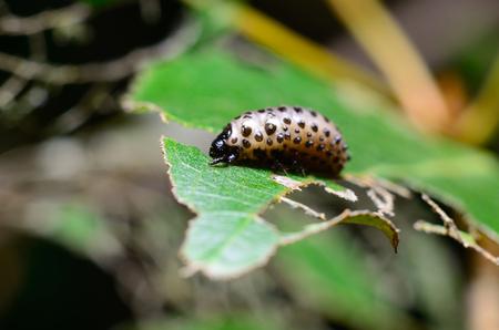 Caterpillar eating leaf Stock Photo