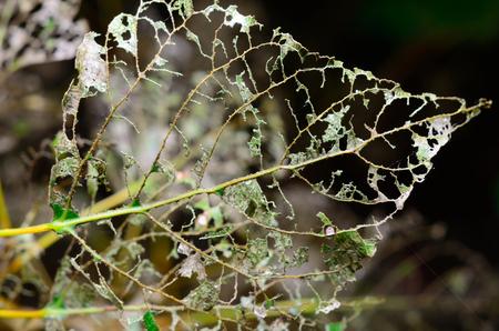 Skeleton leaf after caterpillar Imagens