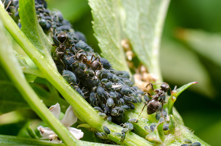 Aphids and ant Stock Photo
