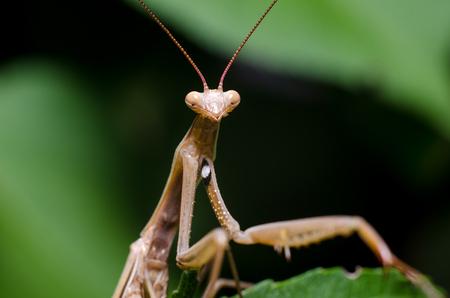 Brown Mantis religiosa. Stock Photo