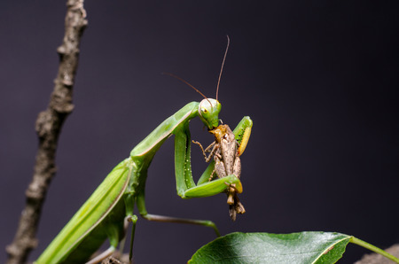 Mantis religiosa eating grasshopper
