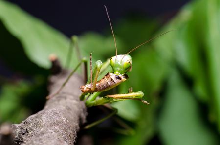 Mantis religiosa eating grasshopper