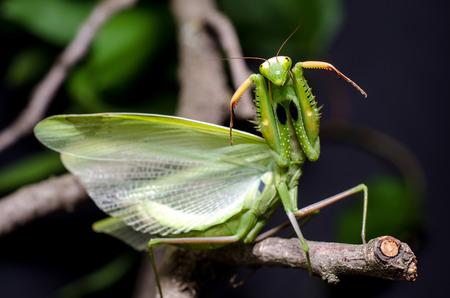 Mantis in Defensive Stance