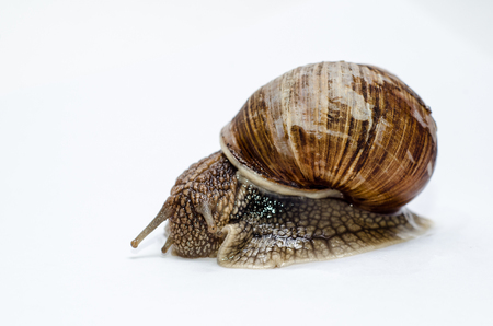 Roman snail on white background. Stock Photo