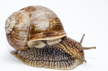 Roman snail on white background. Stock Photo